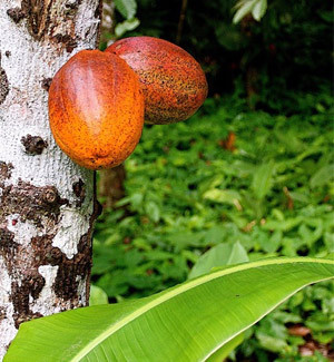 An image of two cocoa pods on a tree